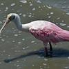 Roseate Spoonbill at Jekyll Wharf 07-03-20