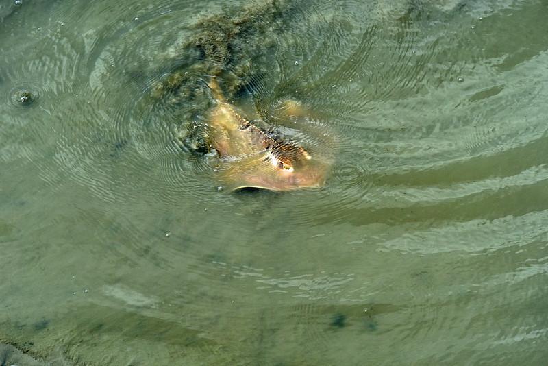 Stingray at Jekyll Wharf 08-27-19