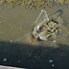 Stingrays at Jekyll wharf 07-08-20