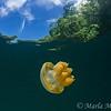 Jellyfish under the mangroves