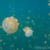 Mastigias sp at jellyfish lake