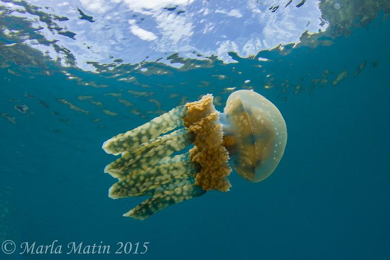 Jellyfish at Mandarinfish Lake