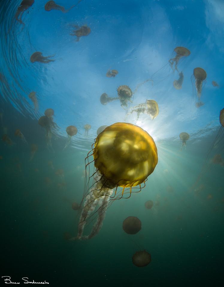 Brown Sea Nettle (Chrysaora fuscesens)
