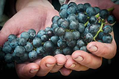The Winemakers Hands