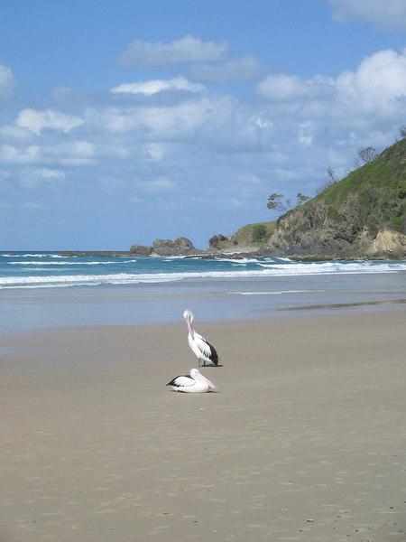 pelicans at perigian