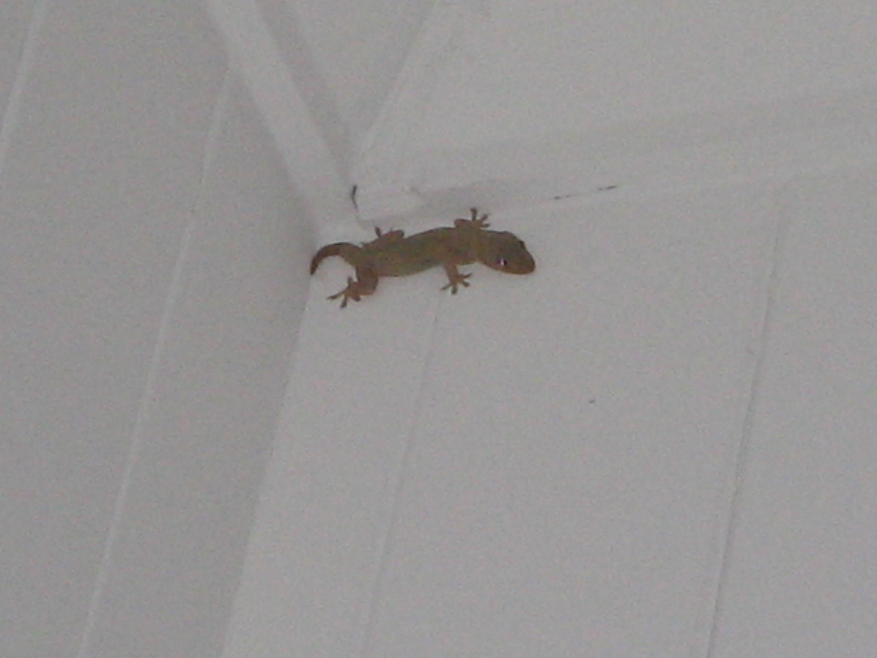 gecko! one of our many house bug eaters