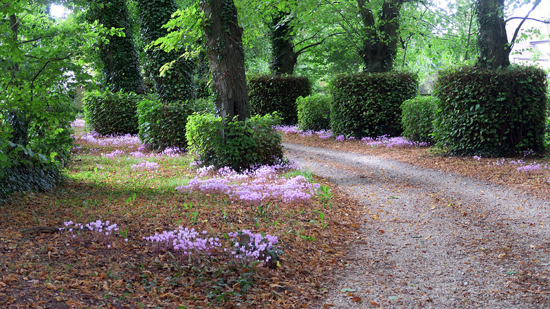 A lovely show of Cyclamen at the start of the walk at Broadmayne House