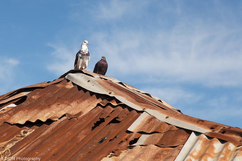 Birds on a roof in Jeremie, Haiti