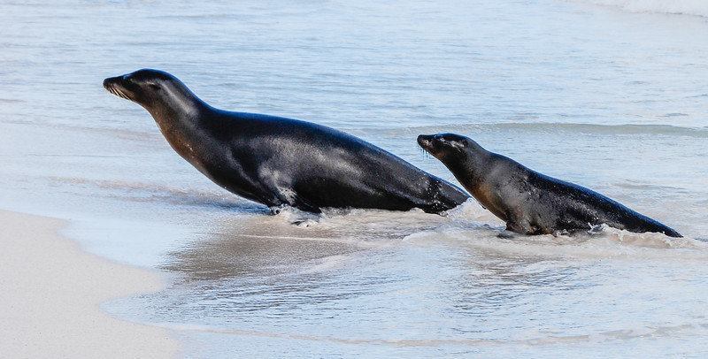Sea Lions-Galapagos