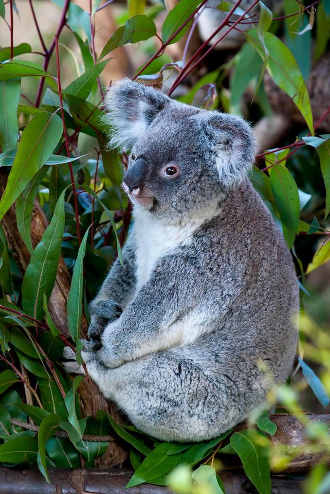 Koala Bear-Zoo