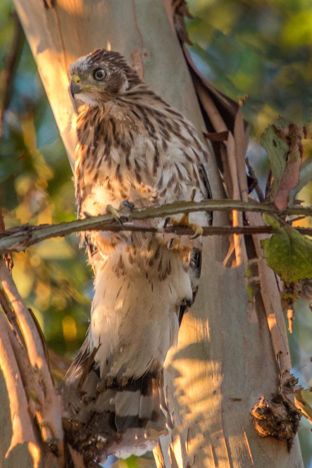 Juvenile Cooper's hawk-Backyard