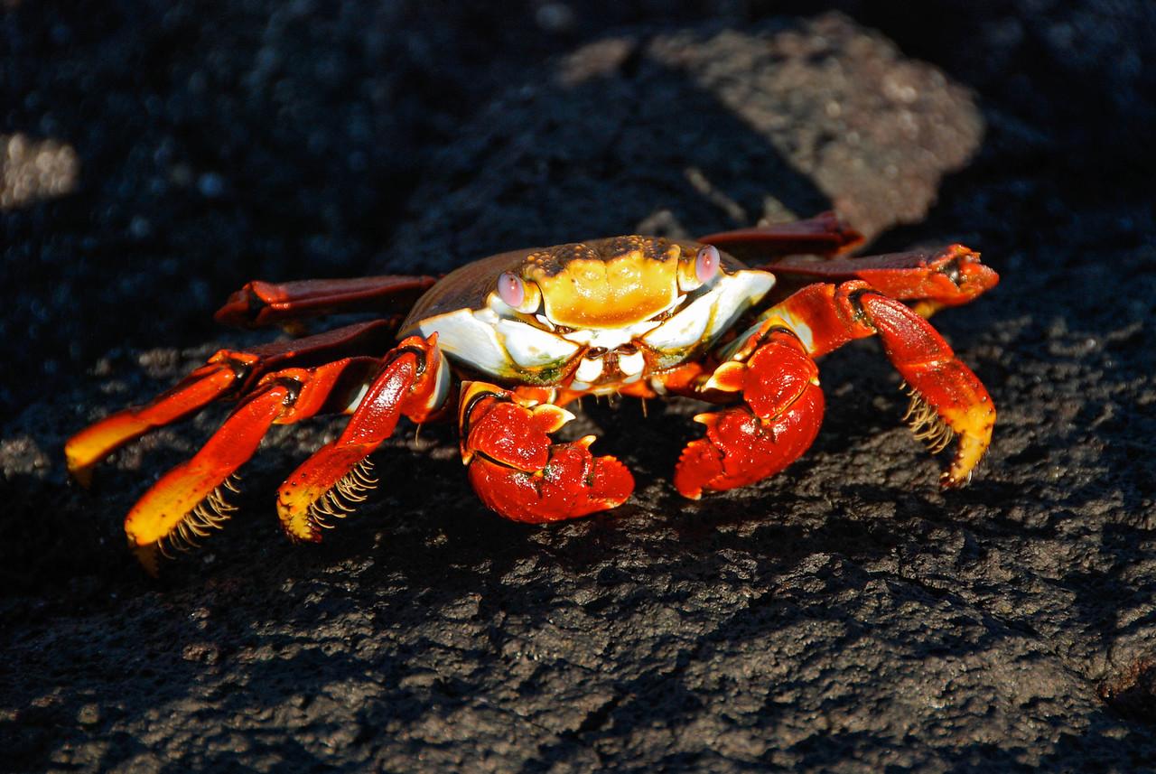 Sally Lightfoot Crab-Galapagos