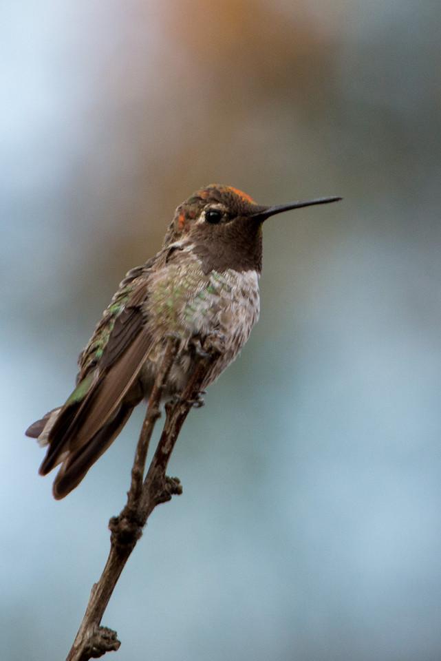 hummingbird-Backyard