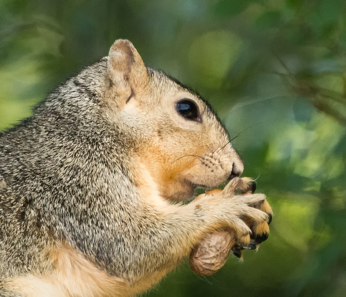 Backyard Tree Squirrel