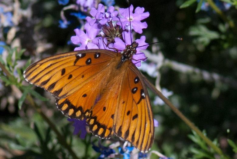 Gulf Fritillary Butterfly-Huntington Library