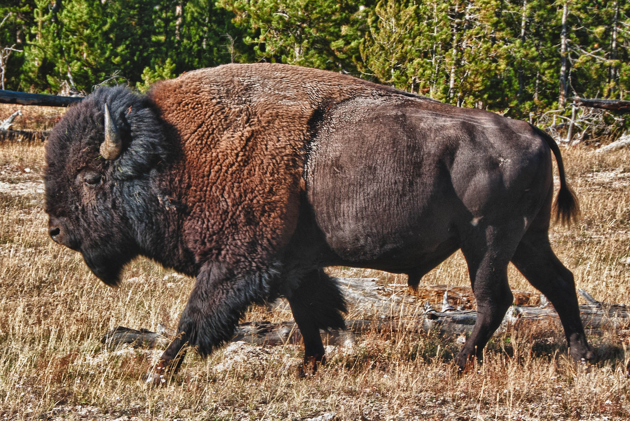 Bison- Yellowstone National Park