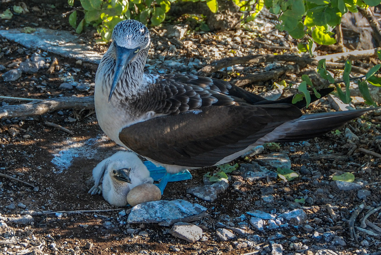 Blue-footed Booby-Galapagos