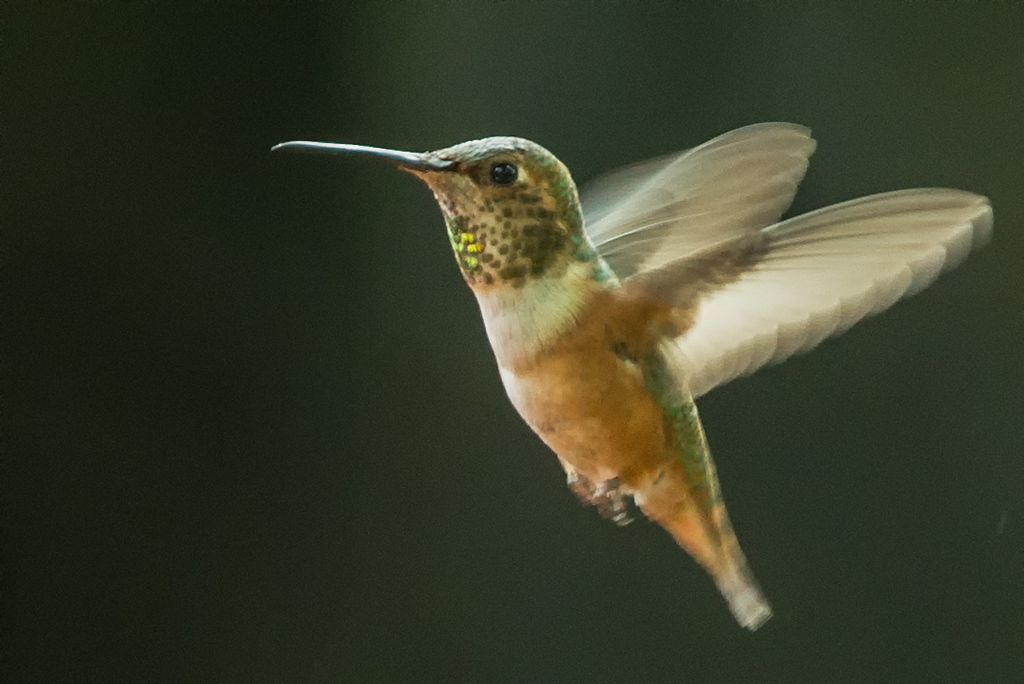 Anna's Hummingbird-Backyard