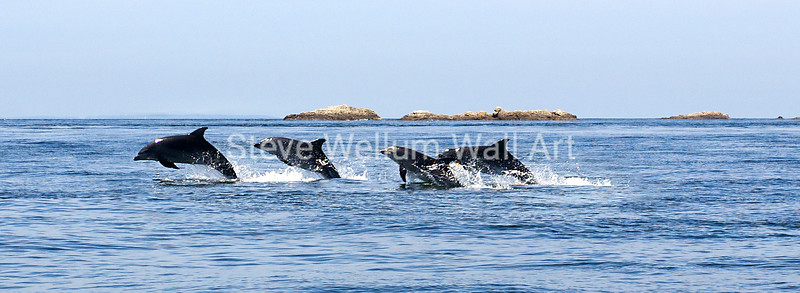 Ecrehous dolphins
