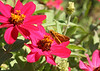 A fiery skipper, a wanderer from the South, nectaring on a Zinnia.