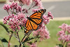 Monarch nectaring on Joe-pye weed, fueling to its flight to the Mexican mountains.