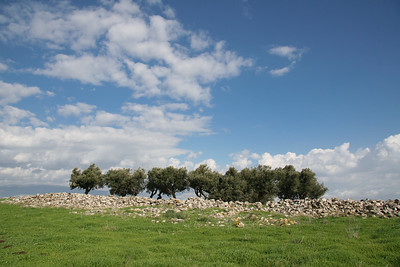 Olive trees on the Horns of Hattin