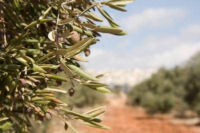 Olive Trees on the Jesus Trail