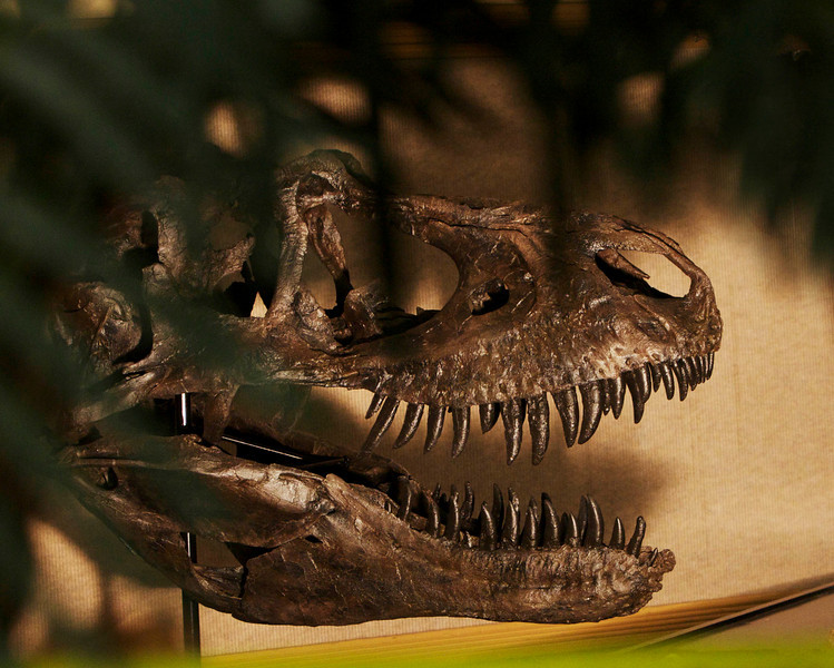 The fossil tent had lots of recast skulls. This T-Rex would look nice on the coffee table.