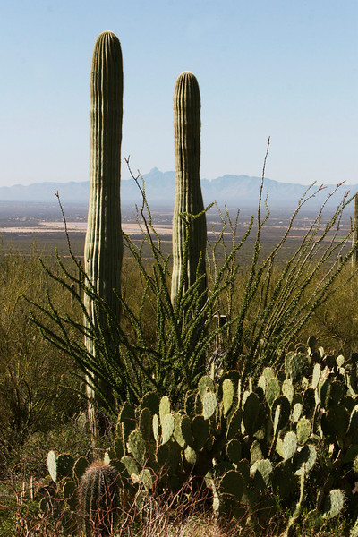 Saguaro,ocotilla, prickly pear and Kit peak in the background