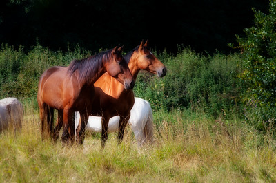 Two bay horses