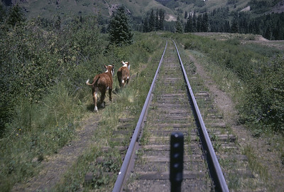 2016.020.50.25--neubauer 35mm kodachrome--C&TS--first season view of cattle along right-of-way from track speeder--near Cumbres CO--1971 0700