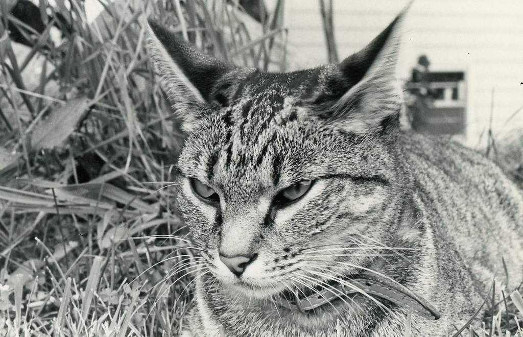 Benny,  one of our several cats in Westford MA. Benny was a favorite of our son Jim.