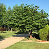 Our Redbud Tree in High Summer.