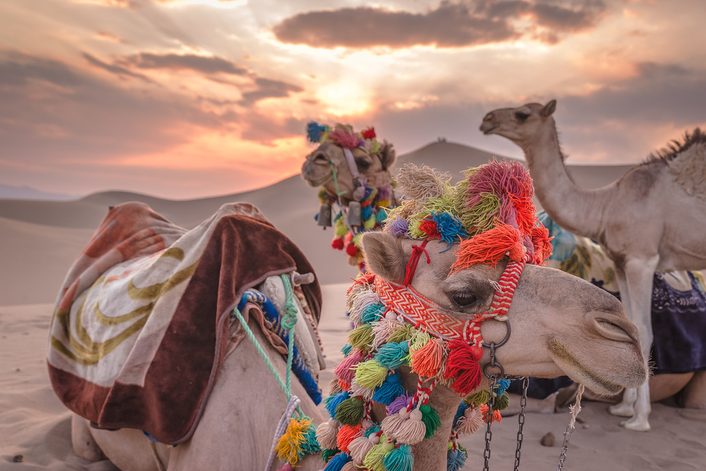 camels in iranian desert