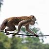 KL Batu Caves Monkey on Tightrope-Edit