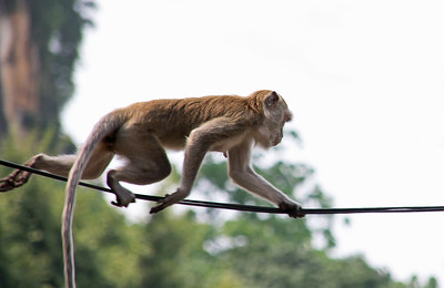 KL Batu Caves Monkey on Tightrope-Edit