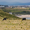 Cows Feeding on Northern Irish Coast-Edit-Edit
