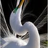 Egret Mating Ritual