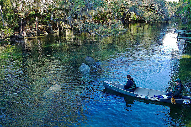 Manatee swim by  Blue Springs State Park Florida