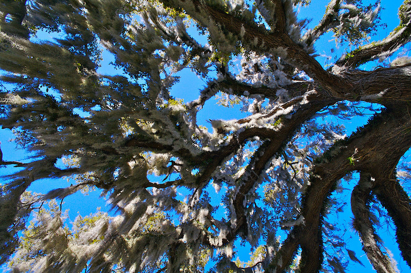 The large tree by the Thursby House Blue Spring State Park Florida.