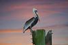 Pelican.. Tomoka State Park.. Florida