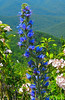 Shenandoah National Park Blue Flower