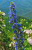 Shenandoah National Park Blue Flower