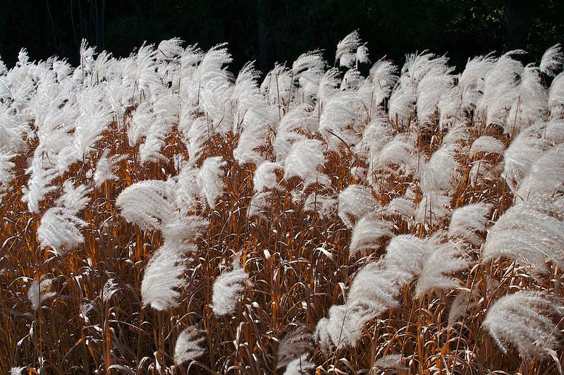 Prairie Grass.