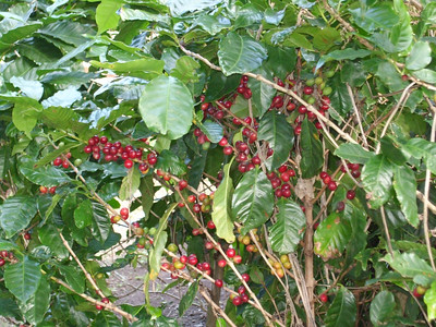 More ripe coffee on bush