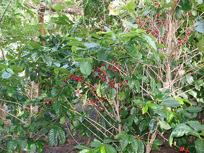 Ripe coffee on bush