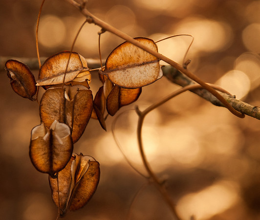 Mar 10 - Dried up seed pods
