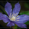 May 31 - Wet Clematis Bloom