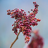 Jan 15 - Sumac Seed Cluster<br /> <br /> I found these sumac seeds along a hedgerow in a field near my house. <br /> <br /> Thanks for your comments on my cardinal image I posted yesterday.