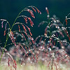 March 18 - Morning Dew<br /> <br /> I took this image last fall after a heavy dew.  I loved the read tassels of grass on their green stems.